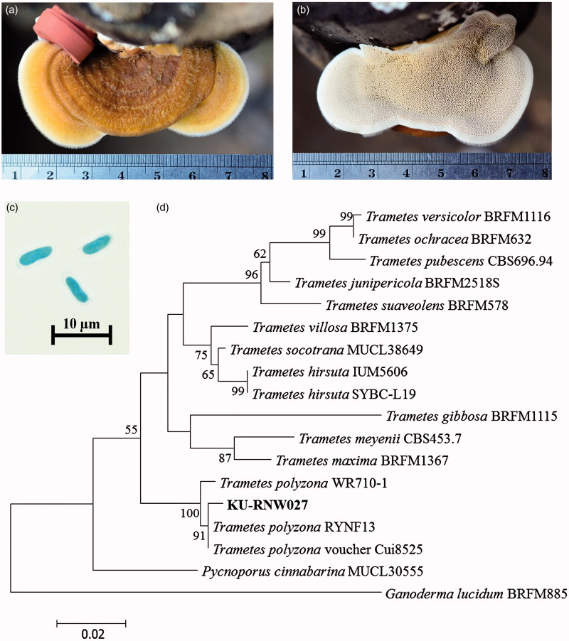 Morphological Characteristic Regulation of Ligninolytic Enzyme Produced by Trametes polyzona.